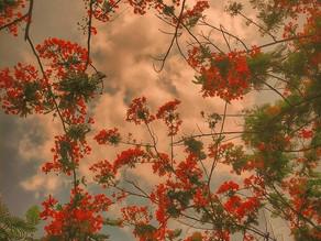 BENEATH THE GULMOHAR TREES
