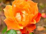 ROSE PAT AUSTIN OPENING.jpg