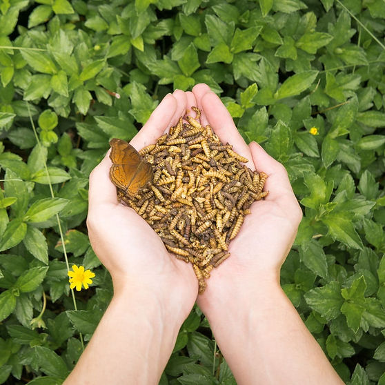 Black Soldier Fly Larvae Dried Insect Feed Technologies Butterly