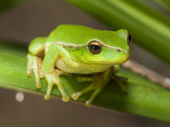 kambofrog2.jpg