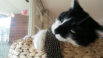 Katze spielt mit Feder, Lucky Cat mobile Katzenbetreuung Hamburg