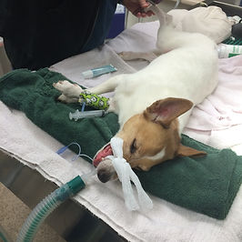 Anesthesia Dog dental