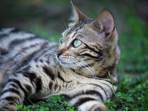 Breed Of The Week -Bengal
