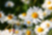 champs de marguerites.jpg