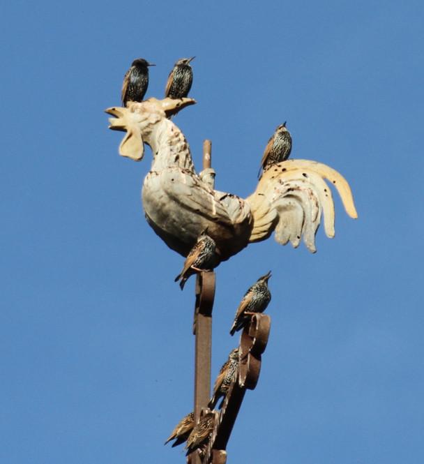 COQ et 4 oiseaux