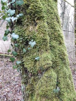 20210131 Mousse sur tronc d'arbre.jpg