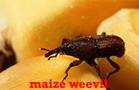 granary, rice and maize weevils