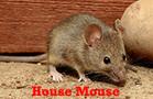House Mice Control