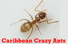 Caribbean crazy ants