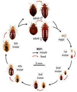 life cycle of bedbugs
