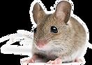 الفأر المنزلي