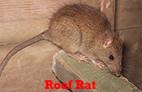 Roof Rats Control