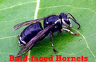 Bald-faced Hornets