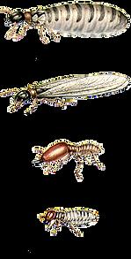انوع الرمة والنمل الابيض