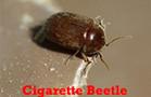 cigarette and drugstore beetles