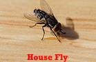 House Flies Treatments