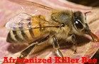 "Africanized (""Killer"") Bees"