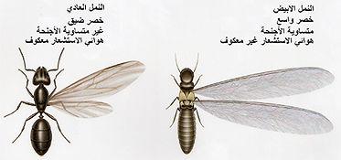 الفرق بين النمل الابيض والنمل العادي