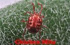 Chicken Mites (Bird Mites)