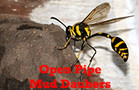Open Pipe Mud Daubers