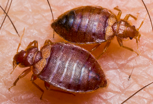 bedbugs feeding