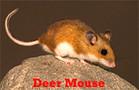 Deer Mice Control