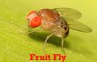 Fruit Flies Treatments