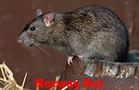 Norway Rats Control
