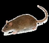الفأر النرويجي