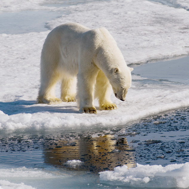 Polar Bears, Liefdefjorden, Svalbard 29.