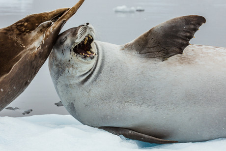 Pleneau Bay, Antarctica 13.jpg