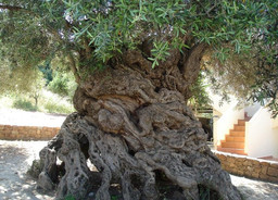 The Mighty Olive Tree