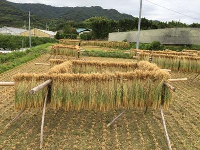 山下家、最後の稲刈り