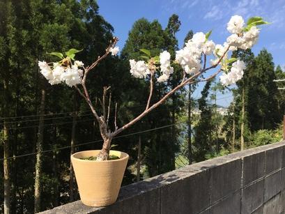桜が引っ越し