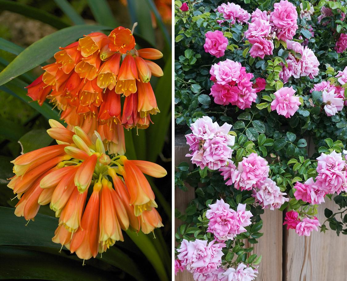 Clivias-y-Rosas.jpg