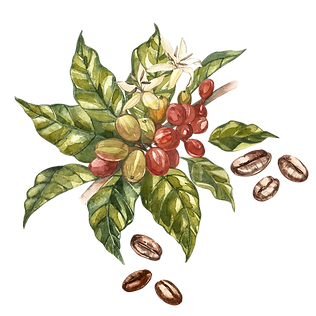 coffee cherrys watercolour.png