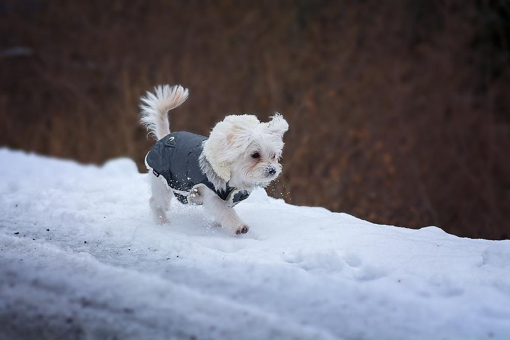 Les cjhiens sont-ils sensibles au froid | Animal Expert St-Bruno