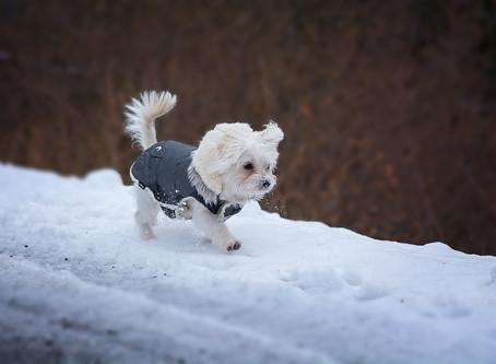Les chiens sont-ils sensibles au froid ?