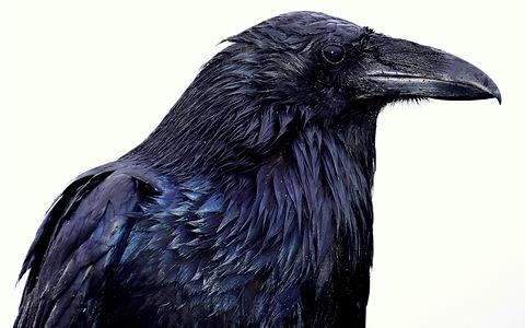 Raven%20Olympic%20National%20Park%20Washington_edited.jpg