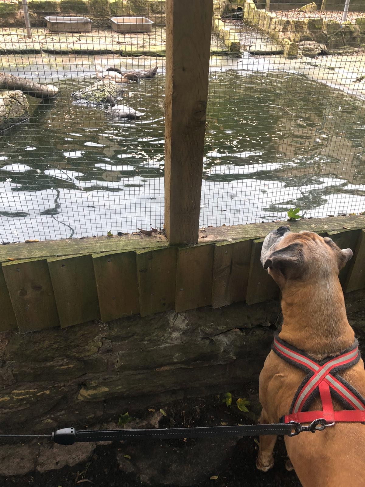 Tess the Boxer, watching the ducks.