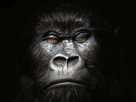 gorilla-face-wallpaper-1.jpg
