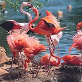 Розовые фламинго.tif
