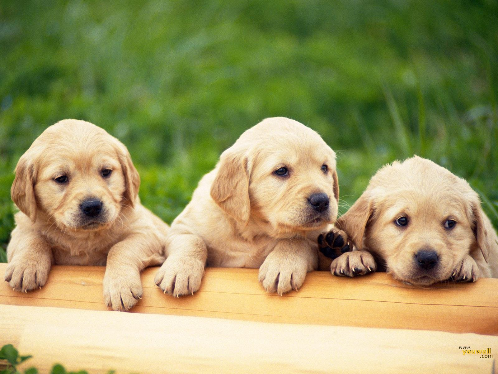 three labby puppies