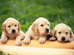 three labby puppies