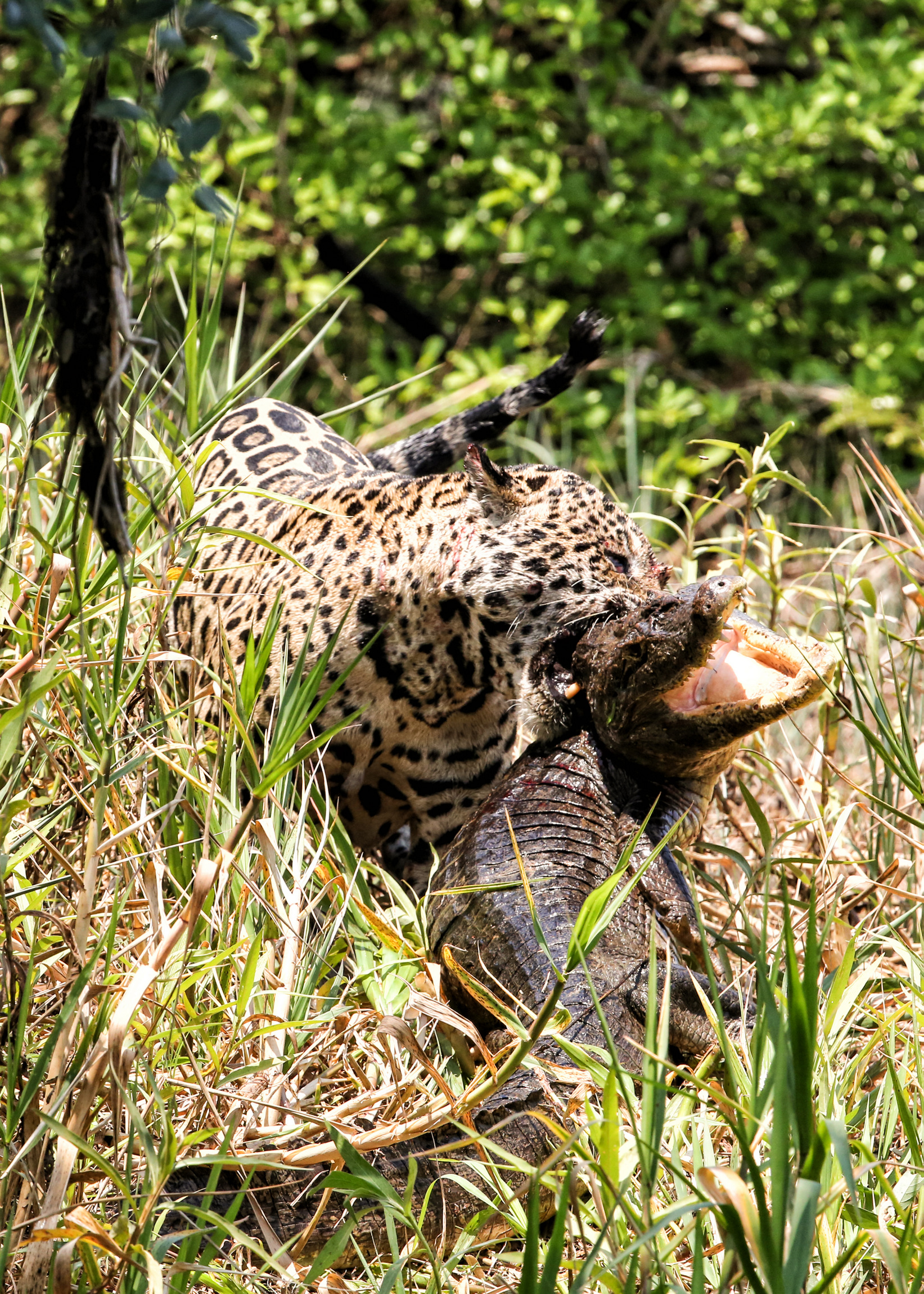 jaguar-attack-caiman-003