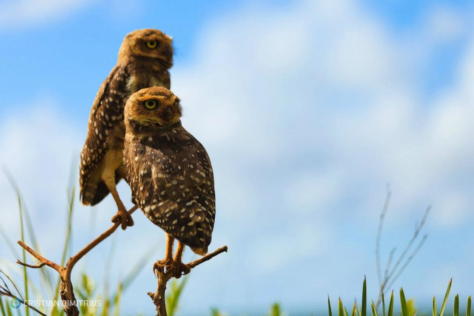 Burrowing owls in Chapada