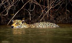 jaguar-005
