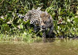 jaguar-013