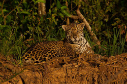 jaguar-010