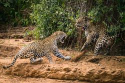 jaguar-panthera-onca-3-octavio campos-salles